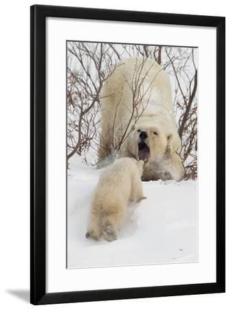 Polar Bear (Ursus Maritimus) and Cub, Wapusk National Park, Churchill, Hudson Bay, Manitoba, Canada-David Jenkins-Framed Photographic Print