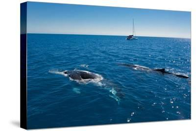 Humpback Whale (Megaptera Novaeangliae) Watching in Harvey Bay, Queensland, Australia, Pacific-Michael Runkel-Stretched Canvas Print