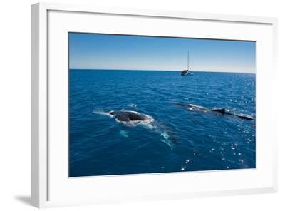 Humpback Whale (Megaptera Novaeangliae) Watching in Harvey Bay, Queensland, Australia, Pacific-Michael Runkel-Framed Photographic Print