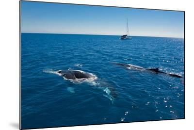 Humpback Whale (Megaptera Novaeangliae) Watching in Harvey Bay, Queensland, Australia, Pacific-Michael Runkel-Mounted Photographic Print