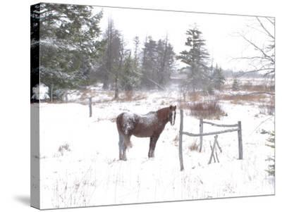 A Horse with a Dusting of Snow on His Back During a Snowstorm-Skip Brown-Stretched Canvas Print