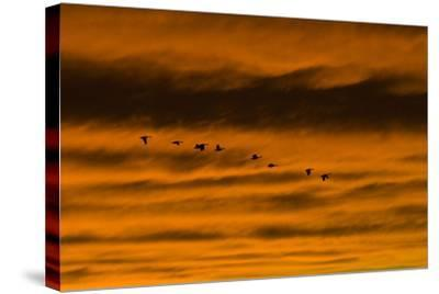Canadian Geese Fly across a Dramatic Evening Sky-Skip Brown-Stretched Canvas Print