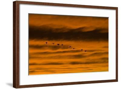 Canadian Geese Fly across a Dramatic Evening Sky-Skip Brown-Framed Photographic Print