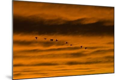 Canadian Geese Fly across a Dramatic Evening Sky-Skip Brown-Mounted Photographic Print