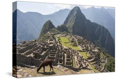 A Llama Grazing on the Grounds of Machu Picchu, an Ancient Inca City-Jonathan Irish-Stretched Canvas Print