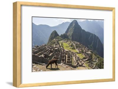 A Llama Grazing on the Grounds of Machu Picchu, an Ancient Inca City-Jonathan Irish-Framed Photographic Print