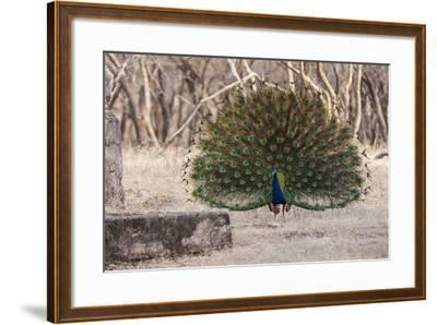 Portrait of a Male Indian Peacock, Pavo Cristatus, Displaying-Jonathan Irish-Framed Photographic Print