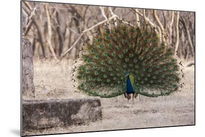 Portrait of a Male Indian Peacock, Pavo Cristatus, Displaying-Jonathan Irish-Mounted Photographic Print