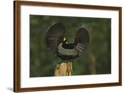 A Male Victoria's Riflebird on Display Perch Tries to Lure Down a Female with His Spread Wings-Tim Laman-Framed Photographic Print