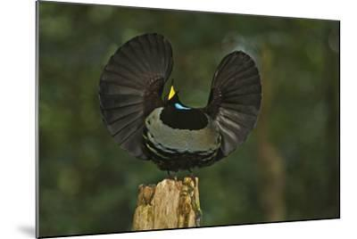 A Male Victoria's Riflebird on Display Perch Tries to Lure Down a Female with His Spread Wings-Tim Laman-Mounted Photographic Print