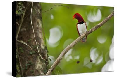 Vogelkopf Peninsula, West Papua, New Guinea, Indonesia-Tim Laman-Stretched Canvas Print