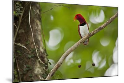 Vogelkopf Peninsula, West Papua, New Guinea, Indonesia-Tim Laman-Mounted Photographic Print