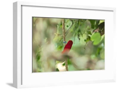 Vogelkopf Peninsula, West Papua, New Guinea, Indonesia-Tim Laman-Framed Photographic Print