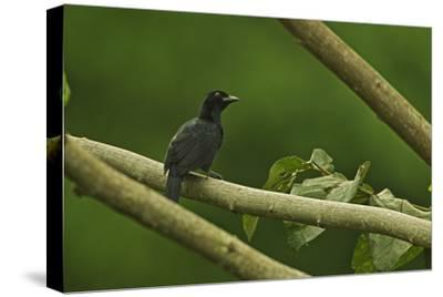 A Trumpet Manucode Bird of Paradise Perches on a Tree Branch-Tim Laman-Stretched Canvas Print
