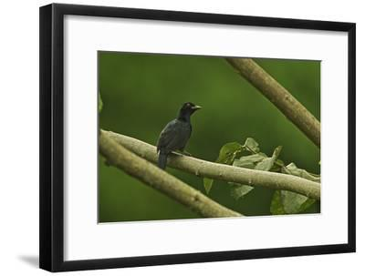 A Trumpet Manucode Bird of Paradise Perches on a Tree Branch-Tim Laman-Framed Photographic Print