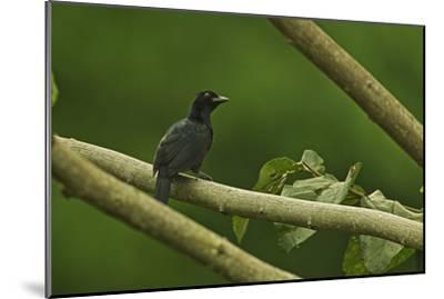 A Trumpet Manucode Bird of Paradise Perches on a Tree Branch-Tim Laman-Mounted Photographic Print