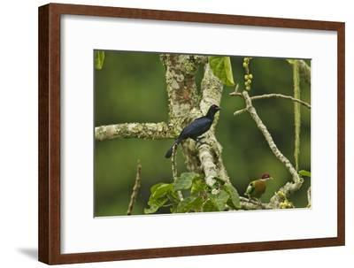 A Crinkle Collared Manucode with an Ornate Fruit Dove-Tim Laman-Framed Photographic Print