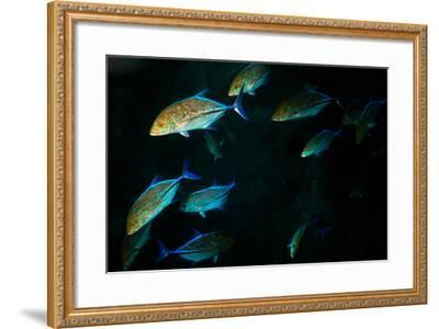 A School of Jackfish-Ben Horton-Framed Photographic Print