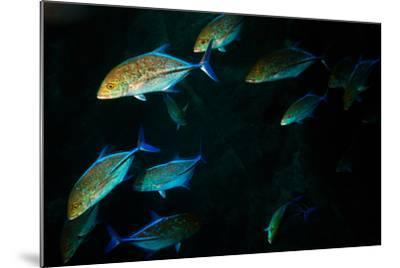 A School of Jackfish-Ben Horton-Mounted Photographic Print