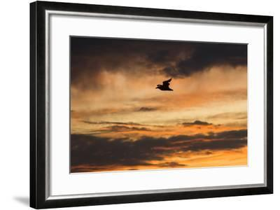 A Seagull in Flight in a Golden Sky at Sunset-Jonathan Irish-Framed Photographic Print
