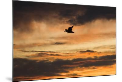 A Seagull in Flight in a Golden Sky at Sunset-Jonathan Irish-Mounted Photographic Print
