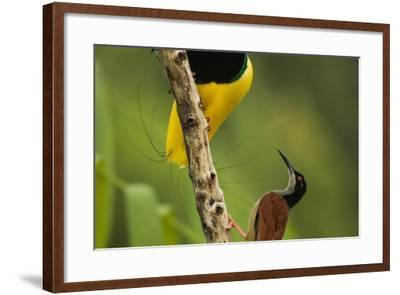 A Male Twelve Wired Bird of Paradise Brushes the Female with Feathers-Tim Laman-Framed Photographic Print