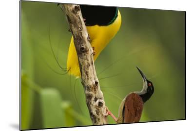 A Male Twelve Wired Bird of Paradise Brushes the Female with Feathers-Tim Laman-Mounted Photographic Print