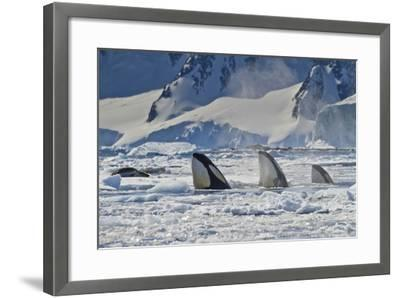 Three Killer Whales Hunt a Leopard Seal on Pack Ice-Ralph Lee Hopkins-Framed Photographic Print