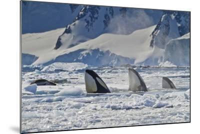 Three Killer Whales Hunt a Leopard Seal on Pack Ice-Ralph Lee Hopkins-Mounted Photographic Print