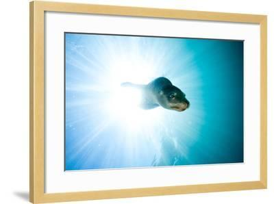 A Sea Lion Descends in a Beam of Light-Ben Horton-Framed Photographic Print