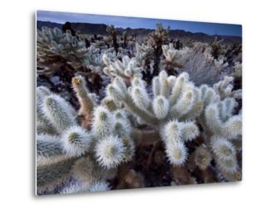 Teddy Bear Cactus or Jumping Cholla in Joshua Tree National Park, California-Ian Shive-Metal Print