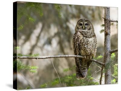 A Spotted Owl (Strix Occidentalis) in Los Angeles County, California.-Neil Losin-Stretched Canvas Print