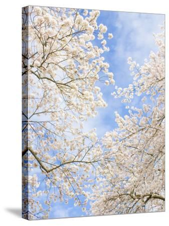 Blooming Cherry Trees in the Quad on the University of Washington Campus in Seattle, Washington.-Ethan Welty-Stretched Canvas Print