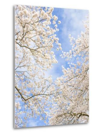 Blooming Cherry Trees in the Quad on the University of Washington Campus in Seattle, Washington.-Ethan Welty-Metal Print