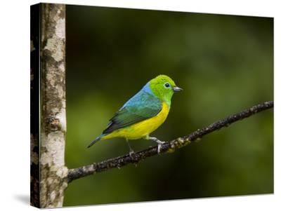 A Male Blue-Naped Chlorophonia (Chlorophonia Cyanea) in Brazil's Atlantic Rainforest-Neil Losin-Stretched Canvas Print