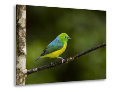 A Male Blue-Naped Chlorophonia (Chlorophonia Cyanea) in Brazil's Atlantic Rainforest-Neil Losin-Metal Print