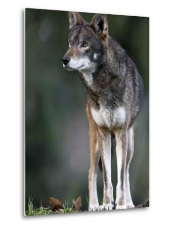 A Lone Red Wolf Looking Away from Camera.-Karine Aigner-Metal Print