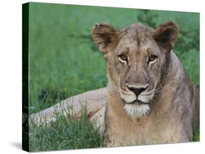 Portrait of a Wild Lioness in the Grass in Zimbabwe.-Karine Aigner-Stretched Canvas Print