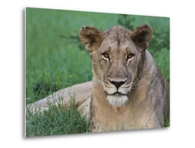 Portrait of a Wild Lioness in the Grass in Zimbabwe.-Karine Aigner-Metal Print