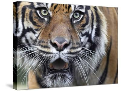 Extreme Closeup Portrait of a Male Sumatran Tiger.-Karine Aigner-Stretched Canvas Print
