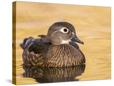 A Female Wood Duck (Aix Sponsa) on a Small Pond in Southern California.-Neil Losin-Stretched Canvas Print