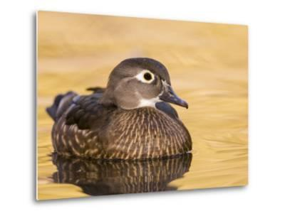 A Female Wood Duck (Aix Sponsa) on a Small Pond in Southern California.-Neil Losin-Metal Print
