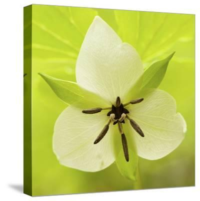 Nodding Trillium in Great Smoky Mountains National Park, Tennessee-Melissa Southern-Stretched Canvas Print