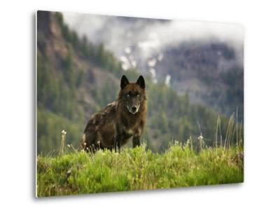 Canyon Pack Alpha Female Wolf of 2009-Mike Cavaroc-Metal Print