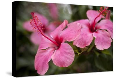 Hibiscus Flower, Cozumel, Mexico-Jim Engelbrecht-Stretched Canvas Print