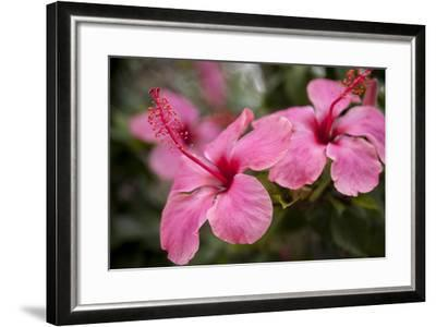 Hibiscus Flower, Cozumel, Mexico-Jim Engelbrecht-Framed Photographic Print