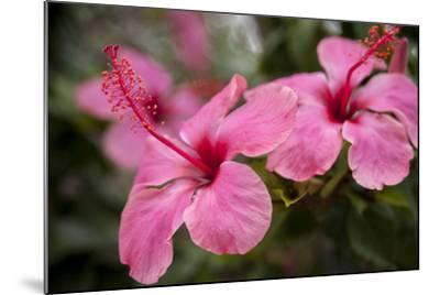 Hibiscus Flower, Cozumel, Mexico-Jim Engelbrecht-Mounted Photographic Print