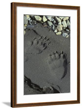 Grizzly Bear Tracks, Denali National Park, Alaska, USA-Gerry Reynolds-Framed Photographic Print