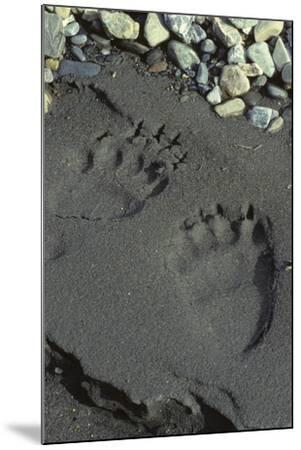 Grizzly Bear Tracks, Denali National Park, Alaska, USA-Gerry Reynolds-Mounted Photographic Print