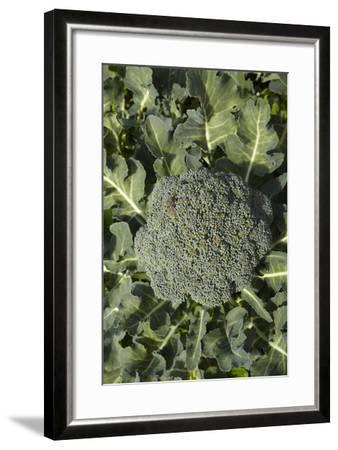 Broccoli Growing in the Garden-David Wall-Framed Photographic Print